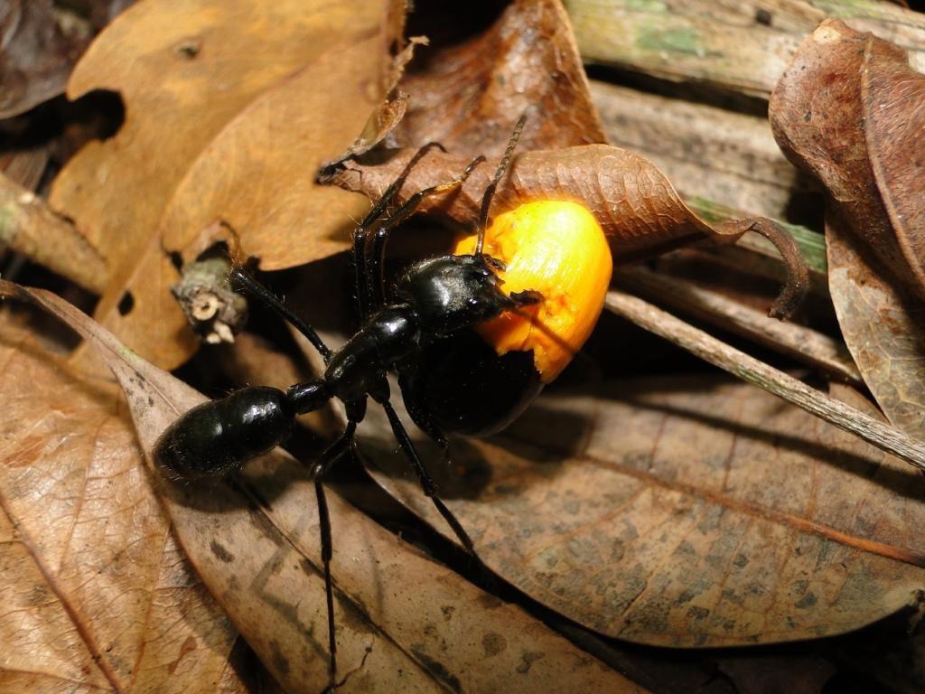 Diário de uma formiga gigante: pesquisadores mostram a rotina da Dinoponera lucida, espécie endêmica da Mata Atlântica ameaçada de extinção